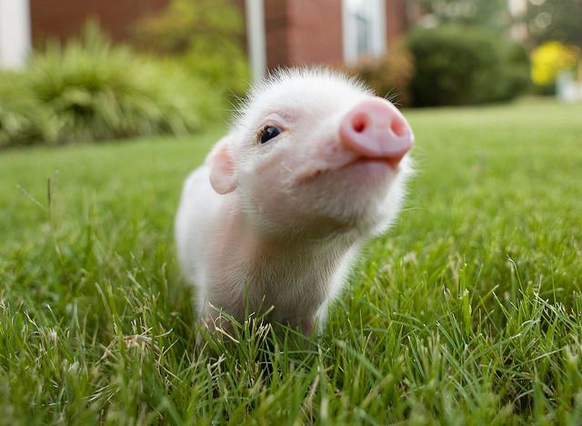 Cute fuzzy baby pig