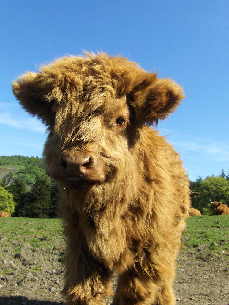 Baby Highland Coo (Cow)