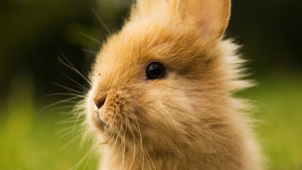 cute-baby-bunny