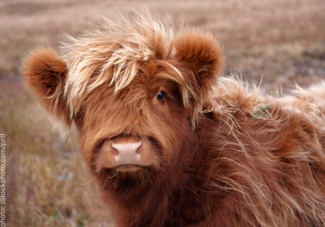 Highland cow with pretty fur