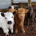 Fuzzy baby cows smiling for the camera