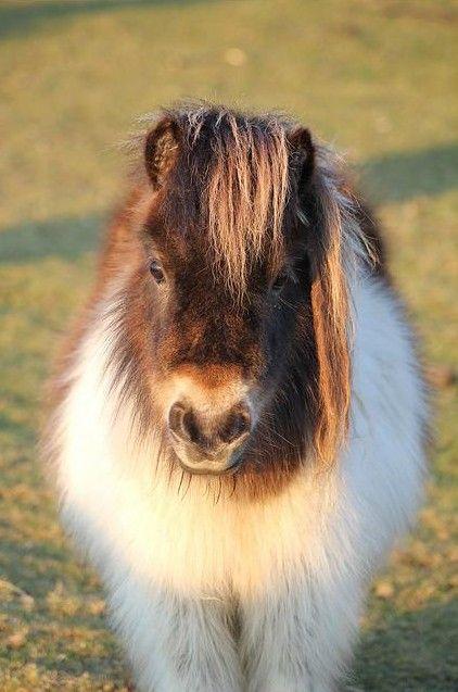 fluffy horses - photo #5