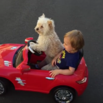 This little dog is actually driving!