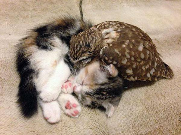 kitten and owl sleepy cuddles!