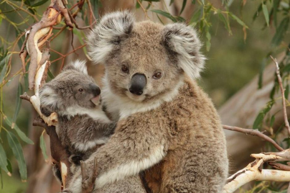 koala bears Tree-hugging, eucalyptus-chomping, sleep-loving: it is easy to see why the  cuddly koala is an animal favourite for any tourist down under.