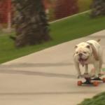 Skateboarding Bulldog