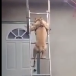 Pitbull Climbs Down a Ladder