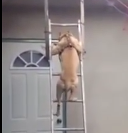 Smart pitbull knows how to climb down a ladder