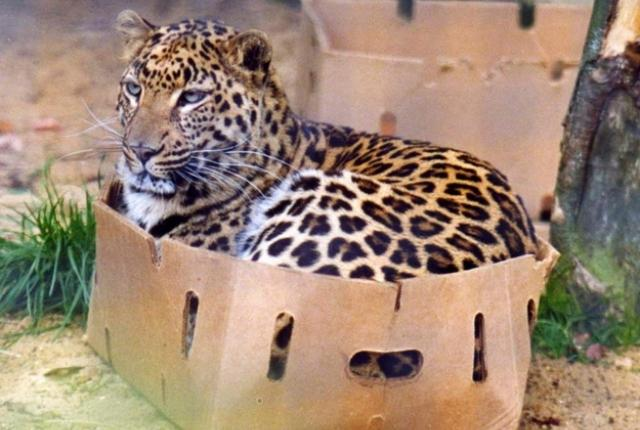 Big cat in box