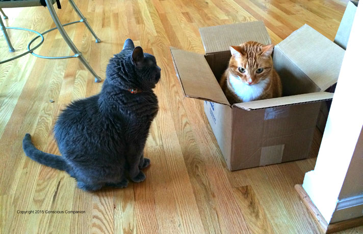 cat jealous of other cat in box