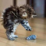 Fuzzy Kitty Pouncing