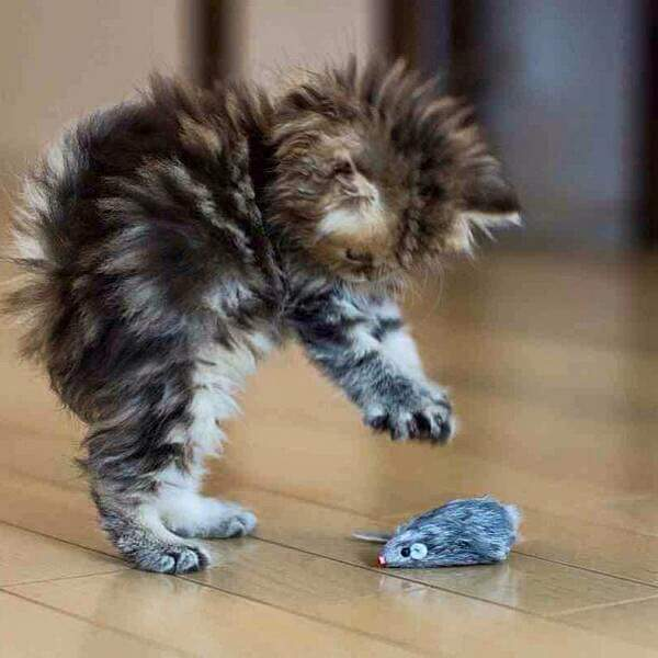 Fuzzy Kitty Pouncing on a Toy