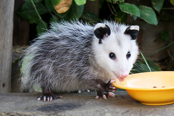 Opossum eating from a bowl