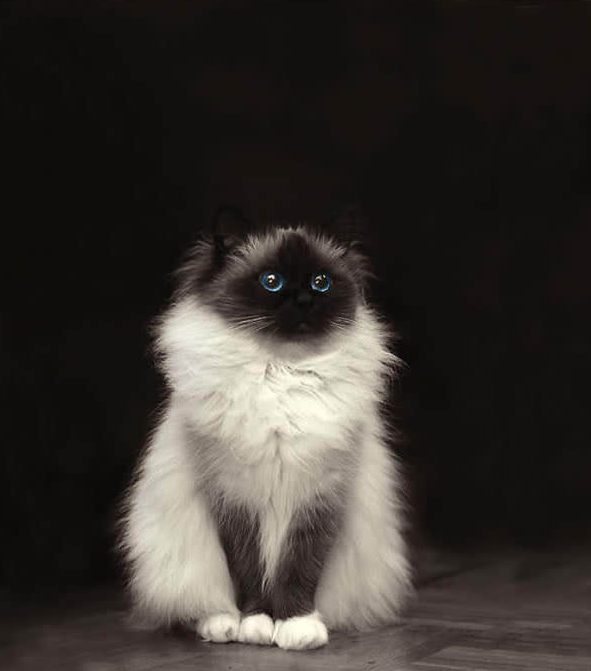 Fluffy himilayan cat with blue eyes