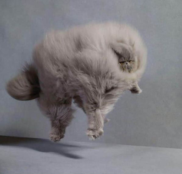 This cat is so fluffy he is weightless.