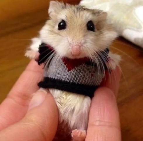 Baby Hamster in a Sweater
