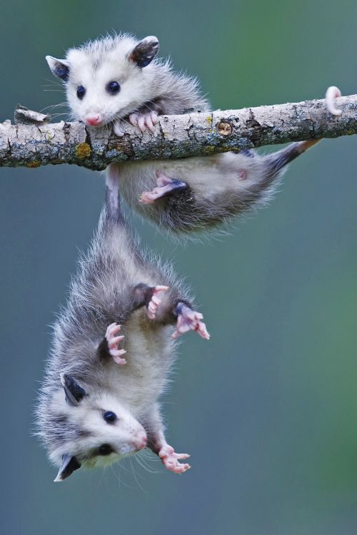 Who knew opossums really hung from their tails. I thought that was just a Disney thing.