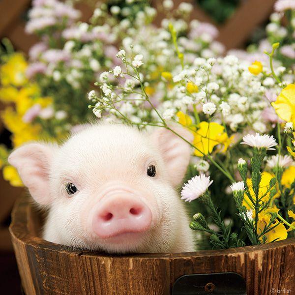 This Little Piggie