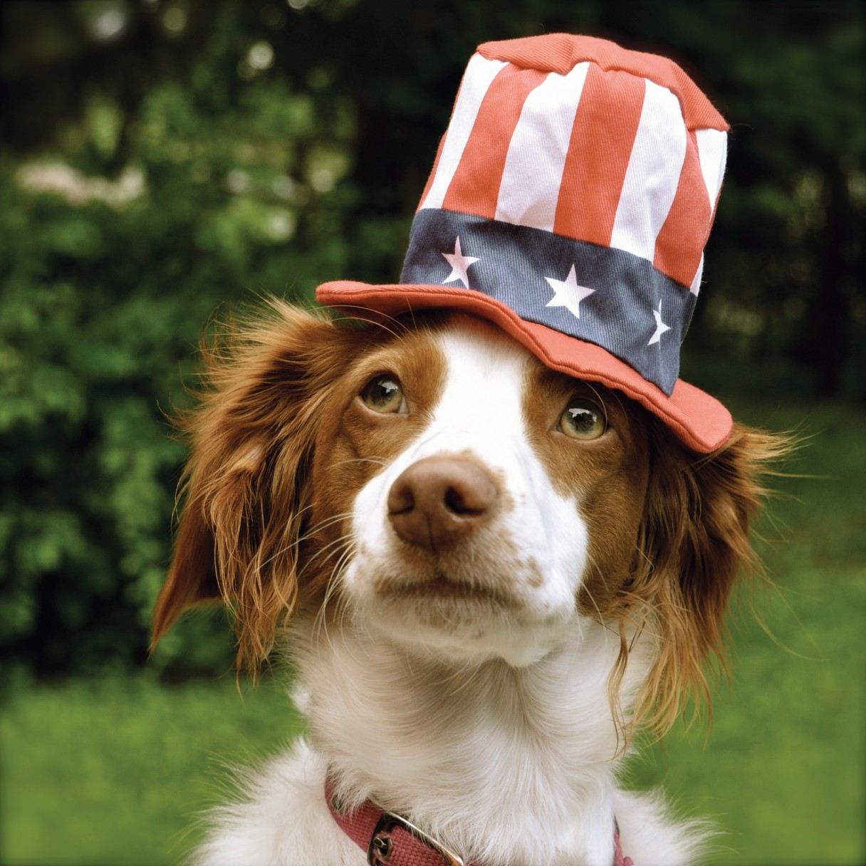 Dog wearing patriotic hat
