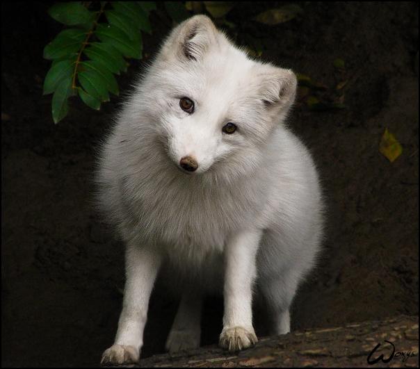White baby fox