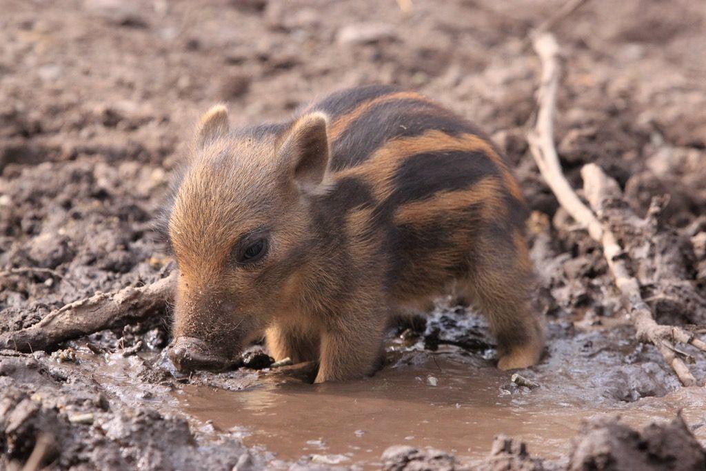 baby wild swine